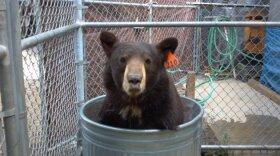 Meatball the bear