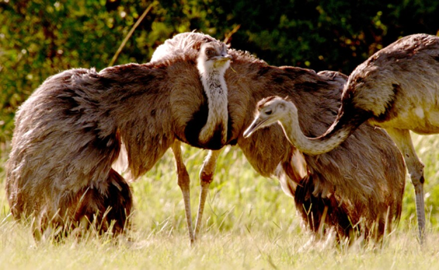 Two rheas, one with its wings opened.