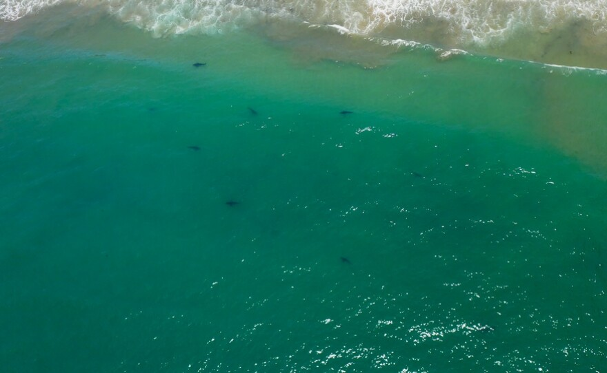 Undated aerial photo of a group of juvenile white sharks. Photo courtesy of the Shark Lab at California State University Long Beach.