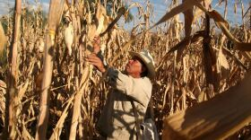 Corn has been cultivated in Mexico for 9000 years. Mexico is also the number one market for American corn exports. Legislation has been proposed in Mexico to boycott U.S. corn in reaction to the Trump administration's stance on trade with Mexico including the threat to withdraw the U.S. from NAFTA.
