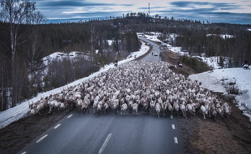 Reindeer herd migrating over frozen river.