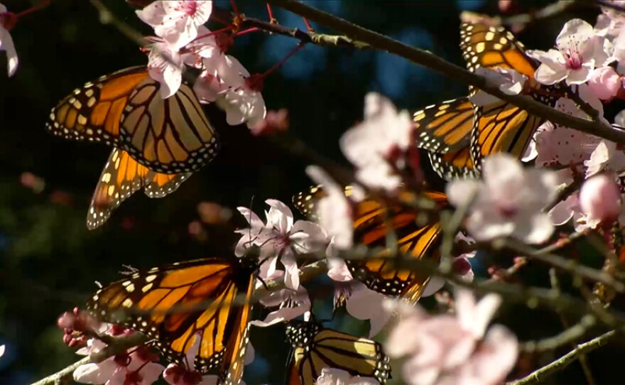 """Several butterflies in a cherry blossom tree. """"Butterfly Town, USA"""" focuses on the local habitat protection for the Sanctuary, but also on a larger goal: citizens working together to limit habitat loss due to climate change, deforestation and pesticides."""
