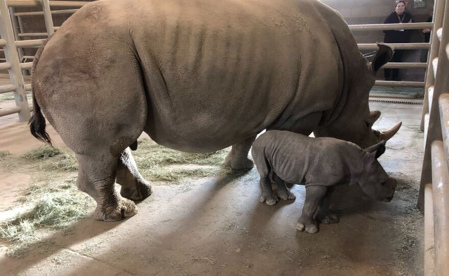 The 100th southern white rhino born at the San Diego Zoo does not stray far from her mother on Nov. 27, 2019.