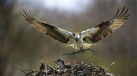 Male osprey delivers a stick to the nest