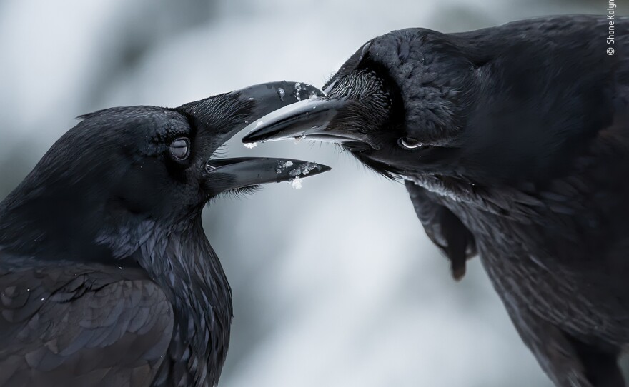 <em>The intimate touch</em> by Shane Kalyn, Canada, Winner, Behaviour: Birds. Shane Kalyn watches a raven courtship display. It was midwinter, the start of the ravens' breeding season. Kalyn lay on the frozen ground using the muted light to capture the detail of the ravens' iridescent plumage against the contrasting snow to reveal this intimate moment when their thick black bills came together.