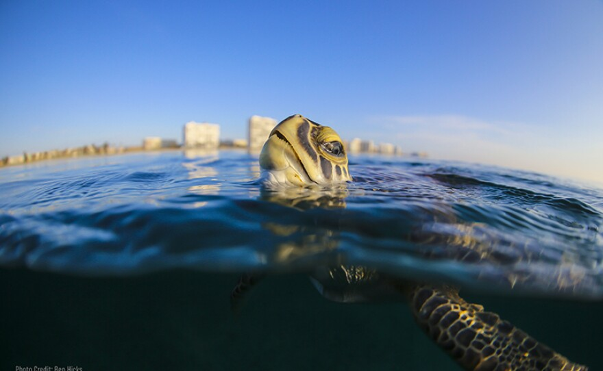 Shown: Sea turtle. The documentary features interviews with acclaimed actor and ocean activist Ted Danson, as well as the biologists, researchers and conservationists devoted to saving a species with a past as old as the dinosaur.