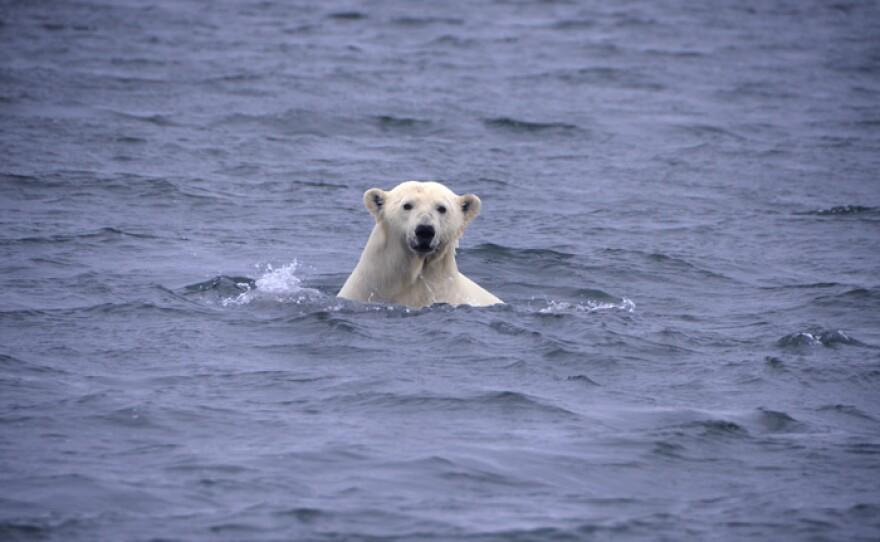 Head shot of polar bear in the water, Katovic Bay, Alaska.