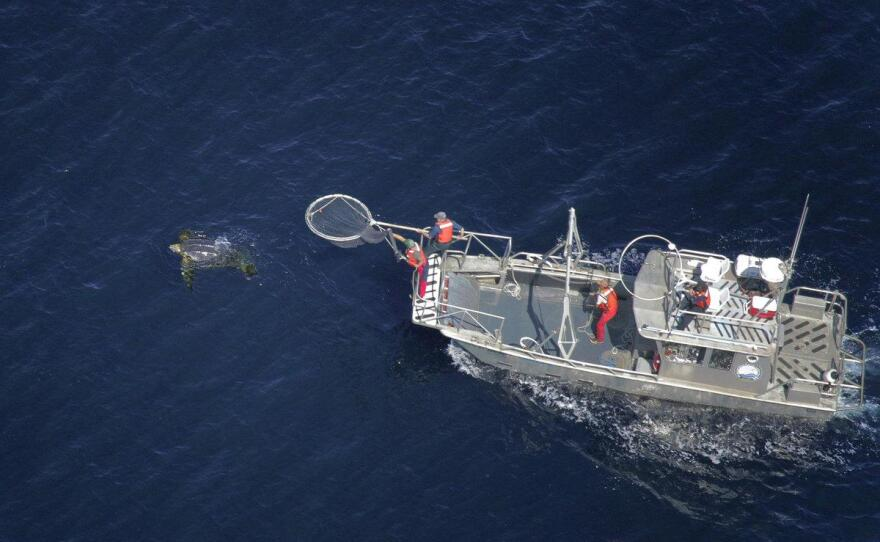 In this aerial photo, scientists in a research boat pursue a Pacific leatherback turtle in the Pacific Ocean off California in September 2016.