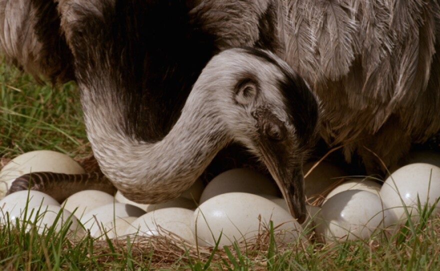 Rhea with nest of eggs.