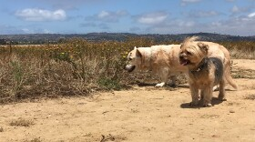 Two dogs enjoying being off leash on Fiesta Island, May 21, 2019.