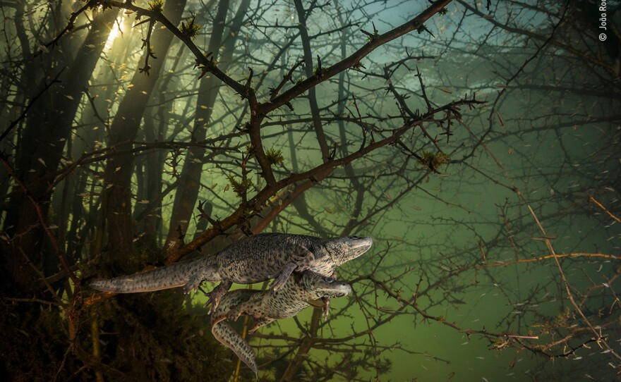 <em>Where the giant newts breed</em> by João Rodrigues, Portugal, Winner, Behaviour: Amphibians and Reptiles. João Rodrigues is surprised by a pair of courting sharp-ribbed salamanders in the flooded forest. It was Rodrigues' first chance in five years to dive in this lake as it only emerges in winters of exceptionally heavy rainfall, when underground rivers overflow.