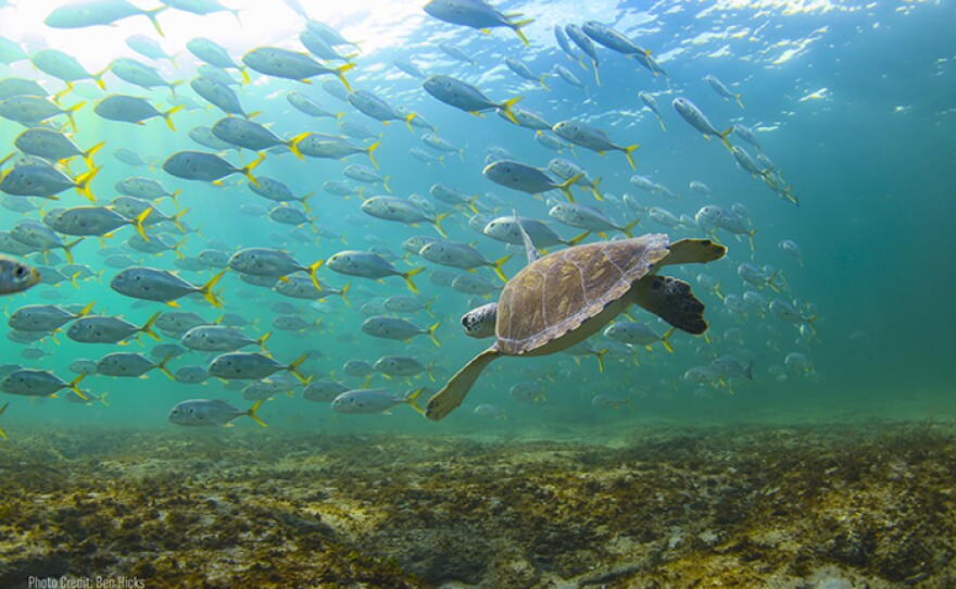Shown: Sea turtle and fish. Warming seas and sand temperatures impact the gender of the hatchling. Scientists have not found a single male hatchling on the beaches of Boca Raton, Florida, in over three years.
