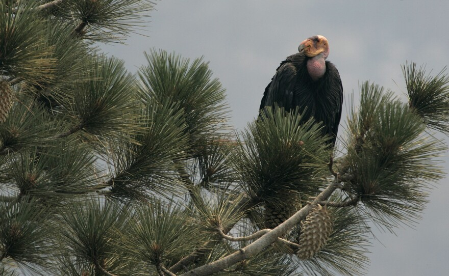 A California Condor is perched atop a pine tree in the Los Padres National Forest east of Big Sur, Thursday, July 10, 2008.