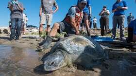Dr. Jeff Seminoff, National Marine Fisheries Service marine turtle research program leader, assists Salty, the green sea turtle, back into San Diego Bay after a month of rehabilitation at SeaWorld's Animal Rescue Center.