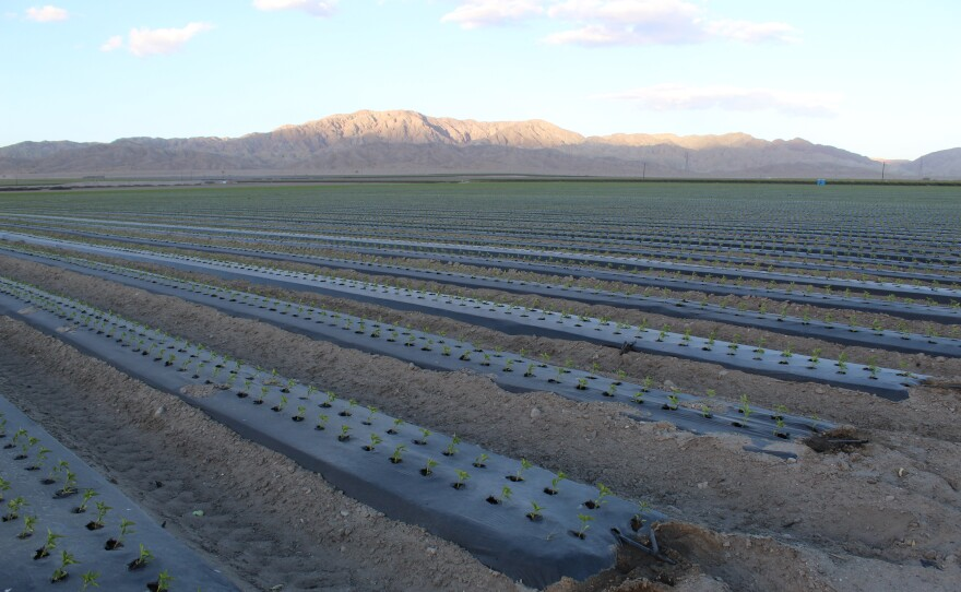 Colorado River water, used to irrigate farm fields like this one in Southern California's Coachella Valley, sustains the Salton Sea, Feb. 19. 2018.