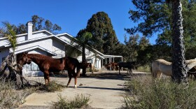 HiCaliber Horse Rescue, after being evicted from its Valley Center ranch on Dec. 13, 2018, tethered some of its horses to trees and poles at an adjacent property.