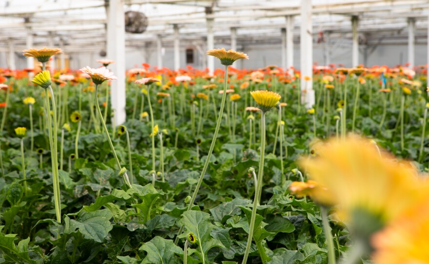 Flowers are grown in a greenhouse at Fox Point Farms in Encinitas on July 13, 2021.