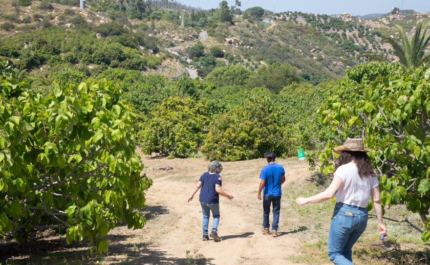 From left, Cindy Luster, Alfredo Gomez and Charlotte Acevedo walk through the California Exotic Specialty Fruits farm in Fallbrook, June 17, 2020.