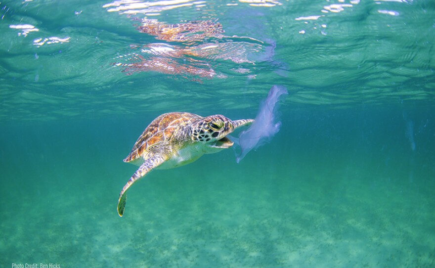 Turtles mistake plastic bags for jellyfish.