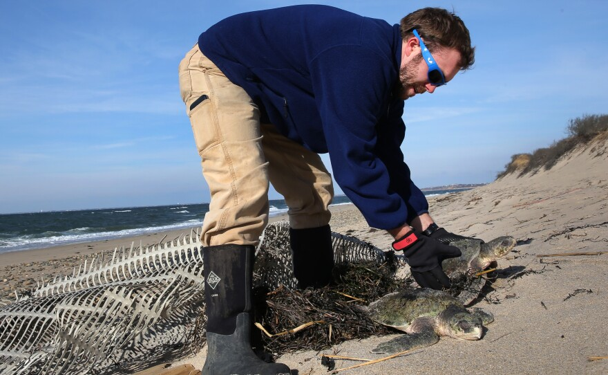 """Michael Sprague with the Mass Audubon's turtle rescue program helps recover a stranded sea turtle in December 2014. In recent days, more than 200 turtles have washed up in Cape Cod because of a phenomenon known as """"cold-stunning."""""""