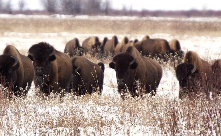 Buffalo herd in snow.
