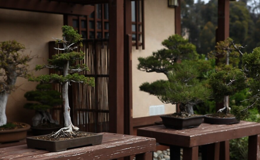 Most of the bonsai were donated by members of the San Diego Bonsai Club.