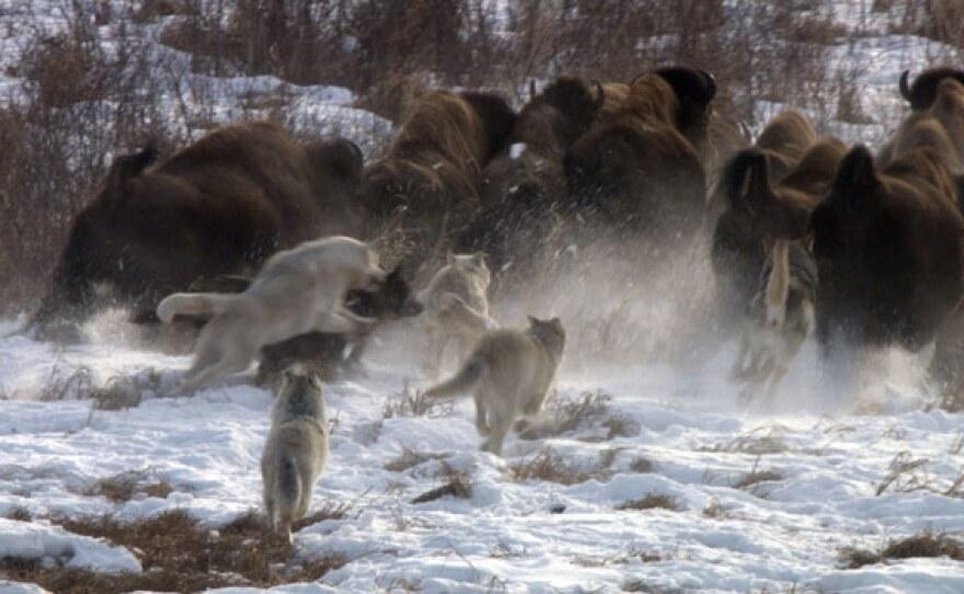 Pile up of wolves chasing buffalo.