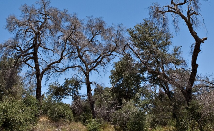Dead trees in the Cleveland National Forest in San Diego County are pictured in this undated photo. They are a casualty of the goldspotted oak borer beetle.