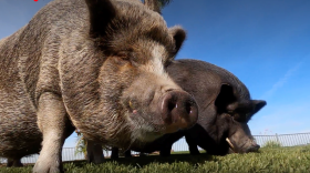 Mini Pigs Alphie and Ozzy graze artificial turf for oatmeal flakes in Santee on Nov. 20, 2020.