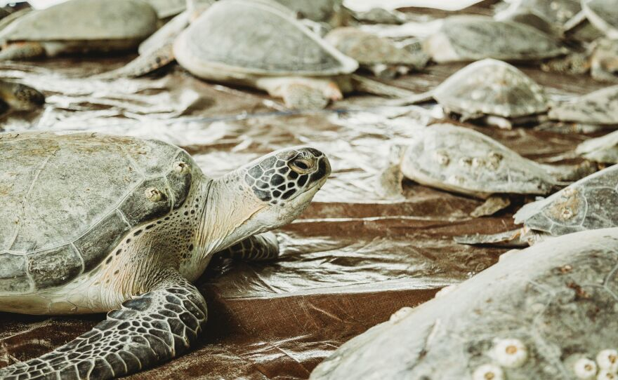 The South Padre Island Convention Center opened its doors and took in thousands of sea turtles cold-stunned during the Valentine's Week Winter Storm.