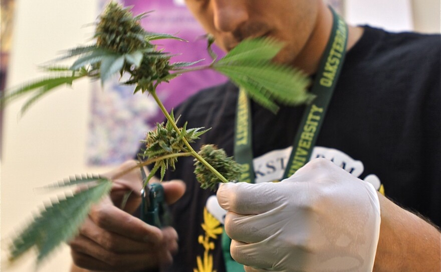 An intern handles a marijuana plant at Oaksterdam University in Oakland.
