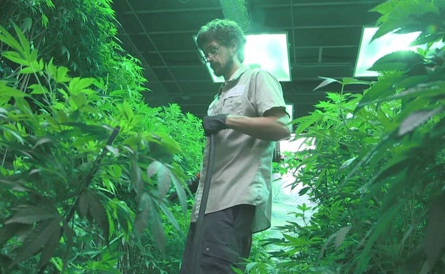 A worker is shown tending plants in a legal marijuana growing operation in this undated photo.