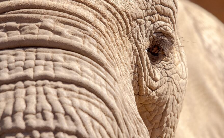 Swazi, one of the African elephants at the San Diego Zoo Safari Park, eyes a visitor on Feb. 26, 2021.
