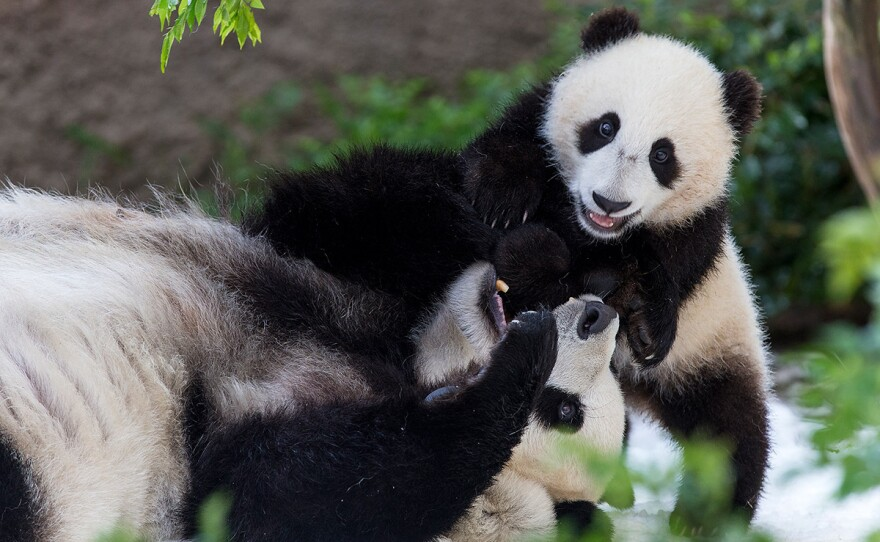 This undated photo shows Bai Yun and Xiao Liwu playing together at the San Diego Zoo.