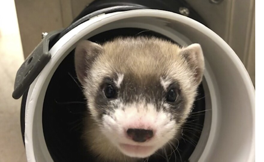 In this photo provided by the U.S. Fish and Wildlife Service is Elizabeth Ann, the first cloned black-footed ferret and first-ever cloned U.S. endangered species, at 50-days old on Jan. 29, 2021.