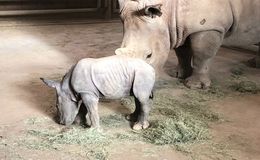 Future, at barely a week old, stands by mom Amani inside a barn at the San Diego Zoo Safari Park on Nov. 27, 2019.