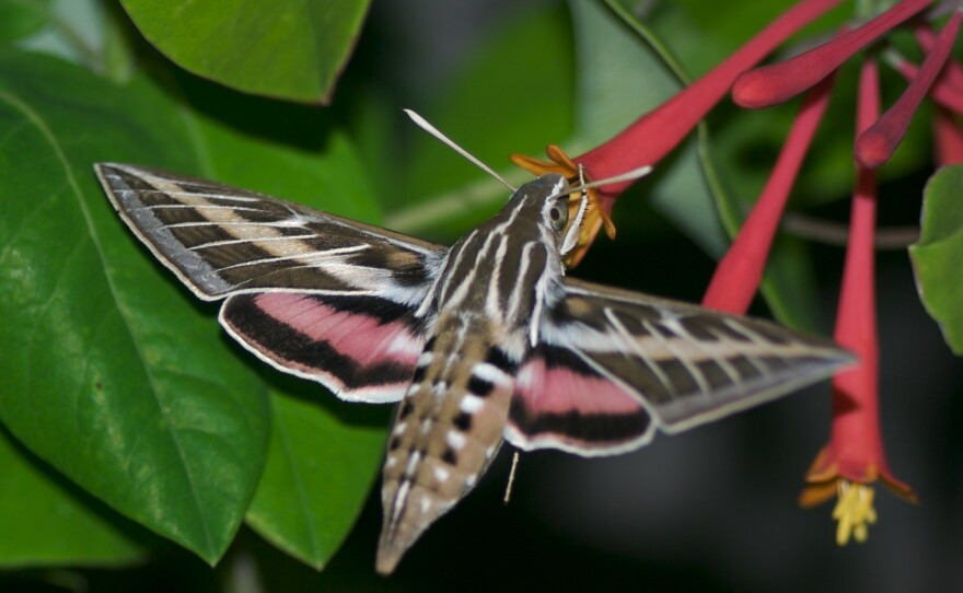 A White-lined sphinx moth behaves like a hummingbird as it hovers near flowers. During springtime these moths can be found in particular parts of San Diego County.