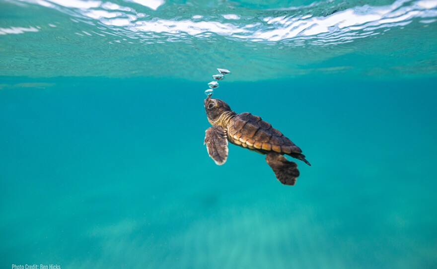 One hundred percent of hatchlings that enter the Sea Turtle Hospital at Loggerhead Marine Life Center in Juno Beach, Florida, have mico-plastics in their digestive tract.