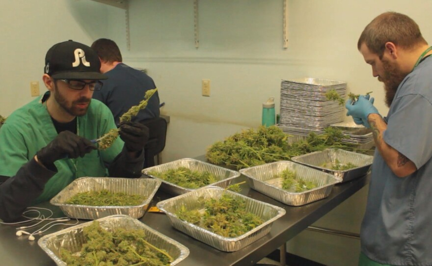 This undated photo shows workers with harvested marijuana in a legal growing operation.