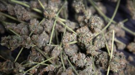 Marijuana is stored in bins for trimming and packaging in preparation to be sold retail at 3D Cannabis Center, in Denver.