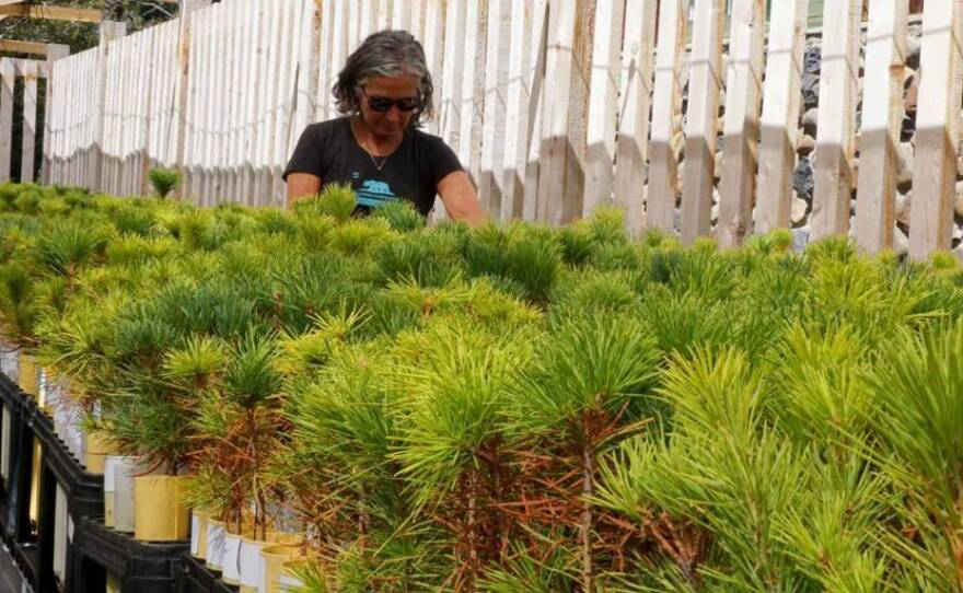 Forest biologist Patricia Maloney is raising 10,000 sugar pine seedlings descended from trees that survived California's historic drought.