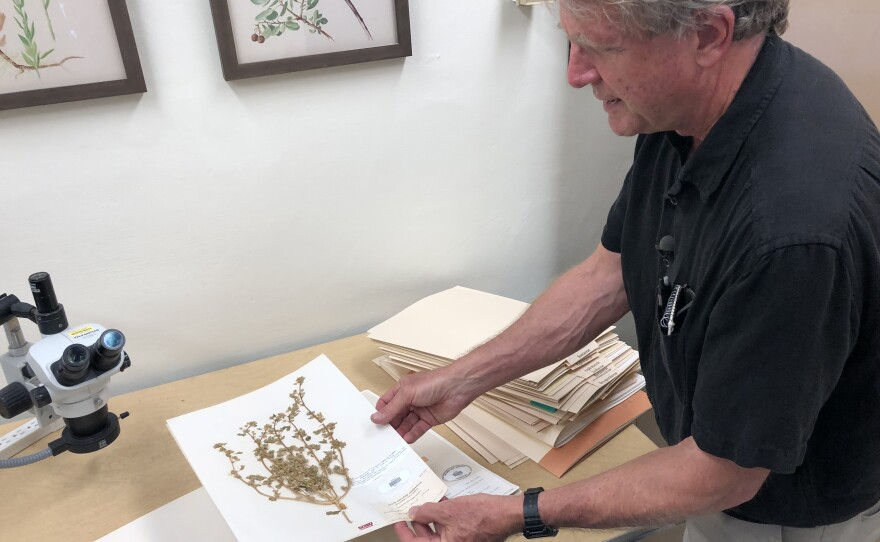 Michael Simpson shows off a plant specimen in the San Diego State University Herbarium, July 31, 2018.