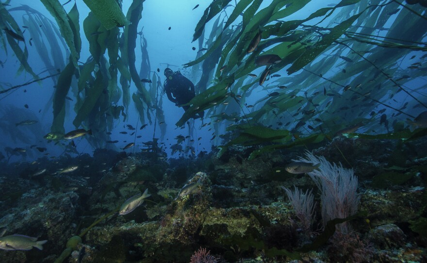 A diver in a kelp forest in California's Channel Island National Park, where several of the state's marine protectedareas are located.