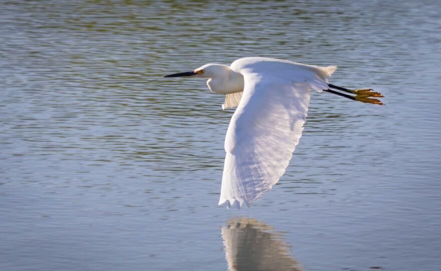 Snowy Egret flies over Santee Lakes, 2012.