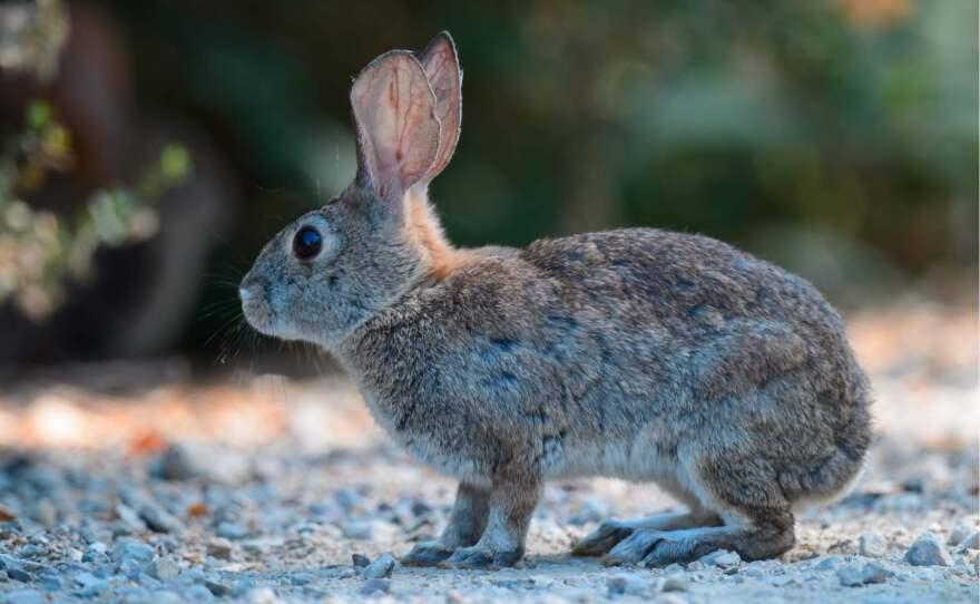 A healthy riparian brush rabbit in an undated photo.
