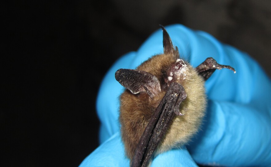 A scientist holds a northern long-eared bat suffering from the white-nose syndrome in LaSalle County, Ill.